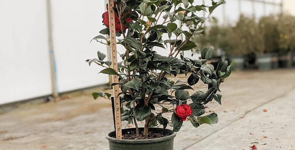Kramer's Supreme Camellia • Camellia japonica 'Kramer's Supreme'