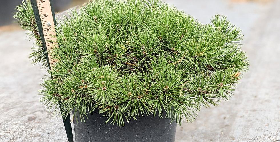 Dwarf Mugo Pine -Pinus mugo var. pumilio