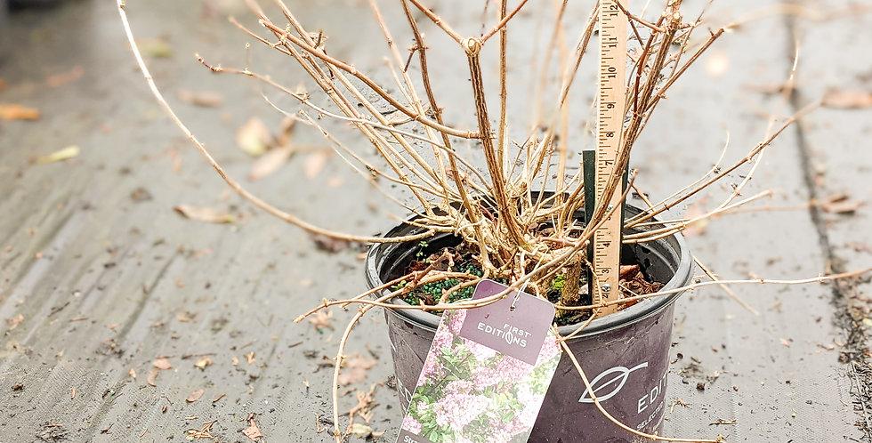 Strawberry Sundae Hydrangea • Hydrangea paniculata 'Rensun'