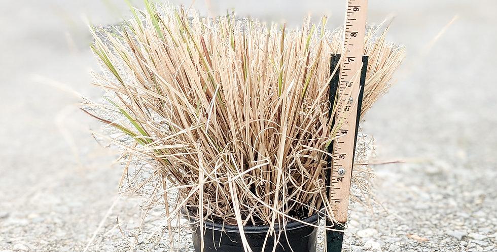 Adagio Maiden Grass • Miscanthus sinensis 'Adagio'