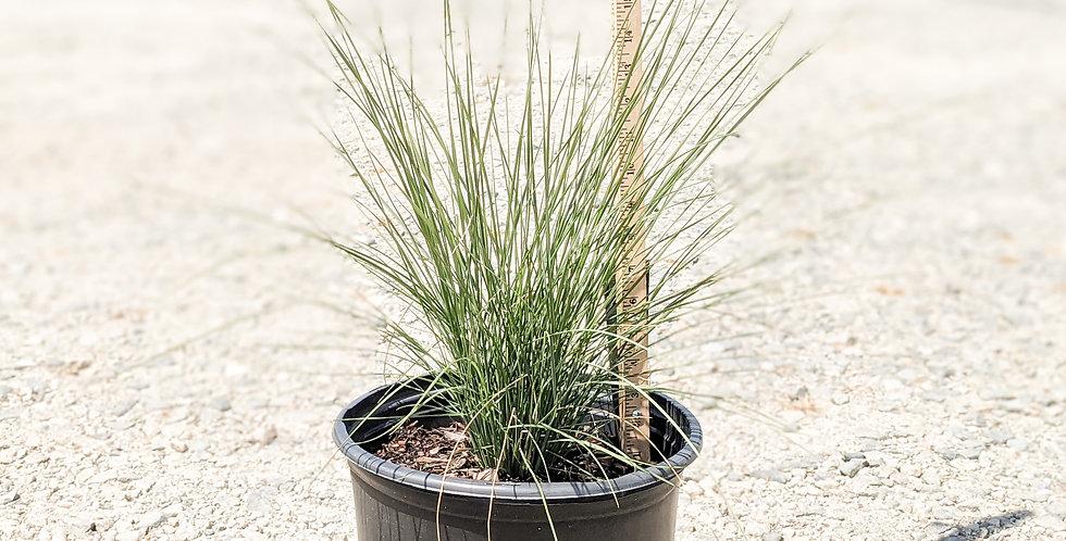 White Cloud Muhly Grass •Muhlenbergia capillaris 'White Cloud'