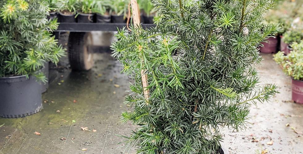 Podocarpus •Podocarpus elongatus