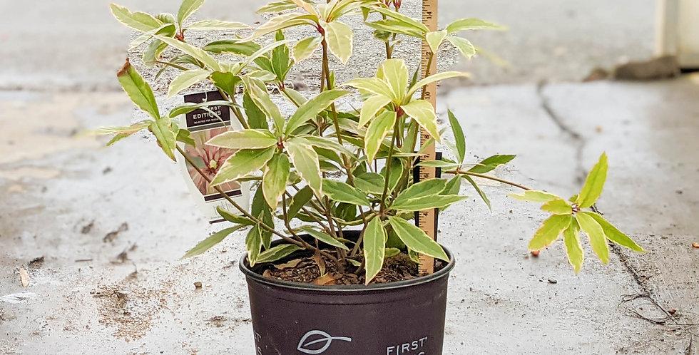 Pink Frost Illicium - Illicium floridanum 'Pink Frost'
