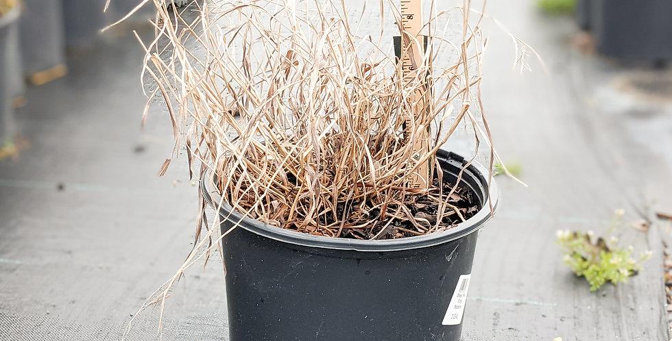 Ruby Ribbons Switch Grass •Panicum virgatum 'RR1' PP #17,944