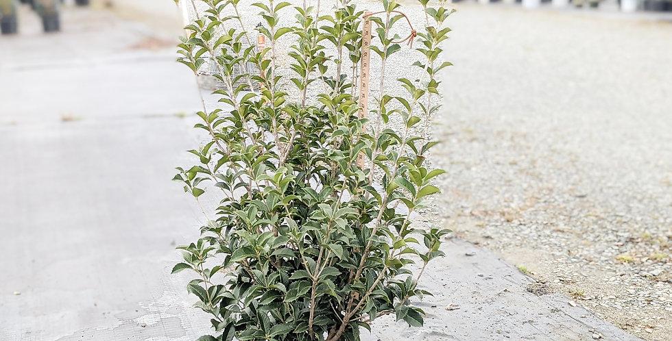 Fortune's Tea Olive • Osmanthus x fortunei