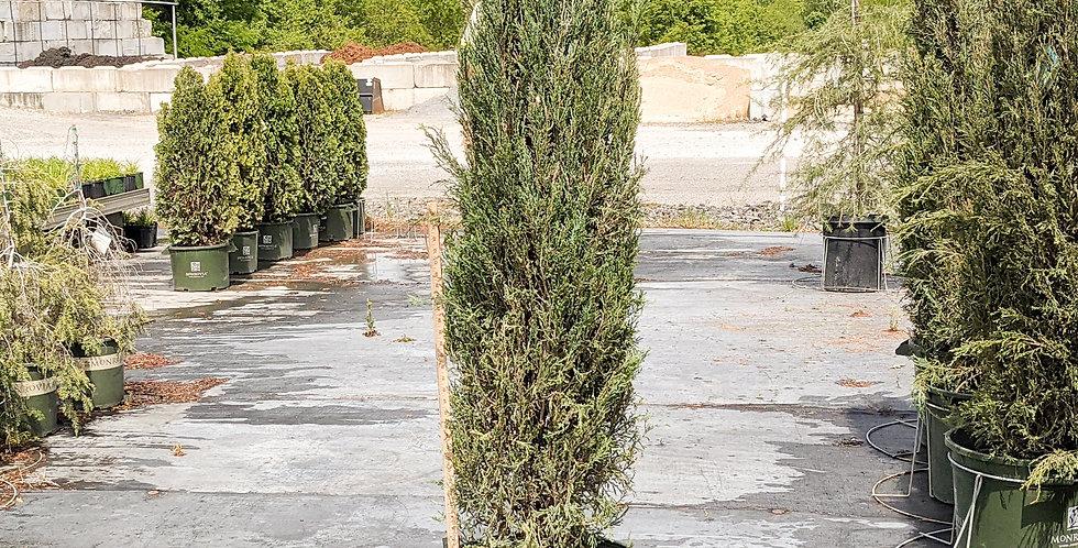 Blue Arrow Junipe •Juniperus scopulorum 'Blue Arrow'
