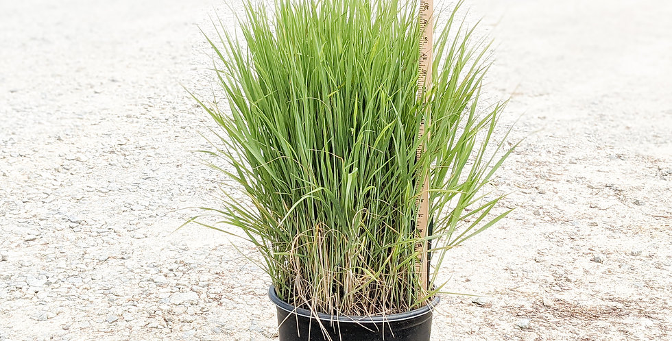 Shenandoah Switch Grass •Panicum virgatum 'Shenandoah'
