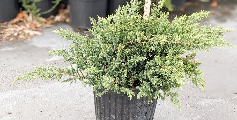 Parson's Juniper •Juniperus chinensis 'Parsonii'