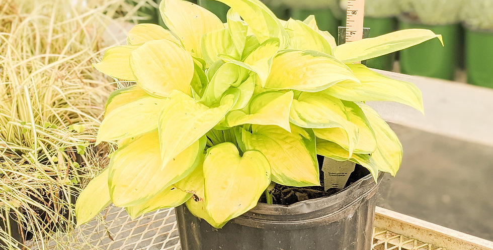 Stained Glass Hosta •Hosta 'Stained Glass'