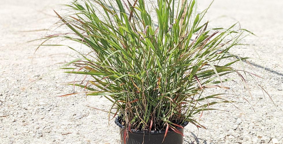 Ruby Ribbons Switch Grass -Panicum virgatum 'RR1' PP #17,944