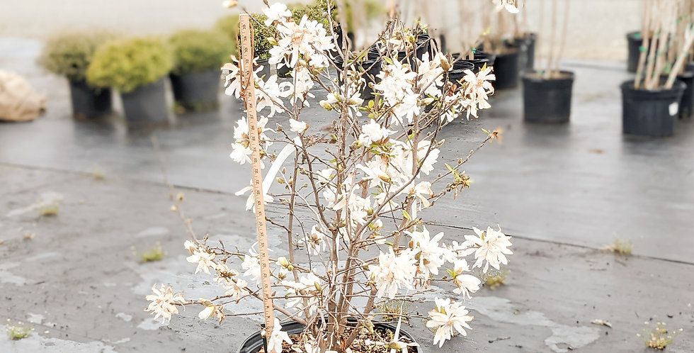 Royal Star Magnolia •Magnolia stellata 'Royal Star'