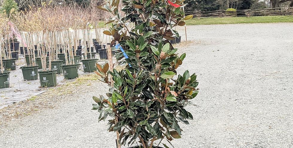 Little Gem Magnolia •Magnolia grandiflora 'Little Gem'
