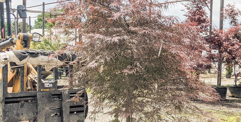 Tamukeyama Japanese Maple •Acer palmatum v. dissectum 'Tamukeyama'