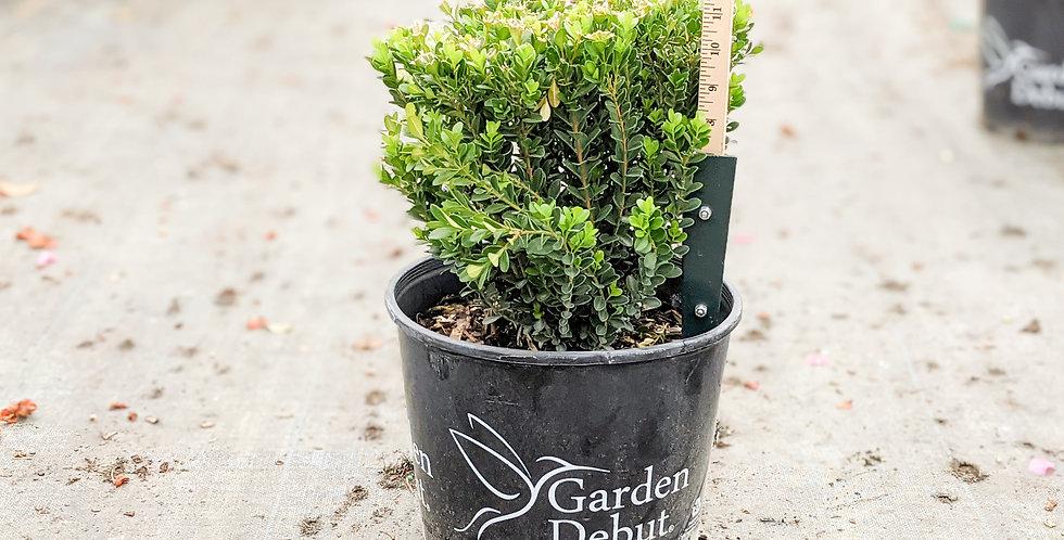 Baby Gem Boxwood - Buxus microphylla var. japonica 'Gregem'