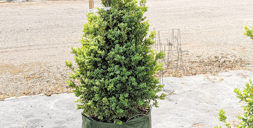Narrow Form American Boxwood •Buxus sempervirens