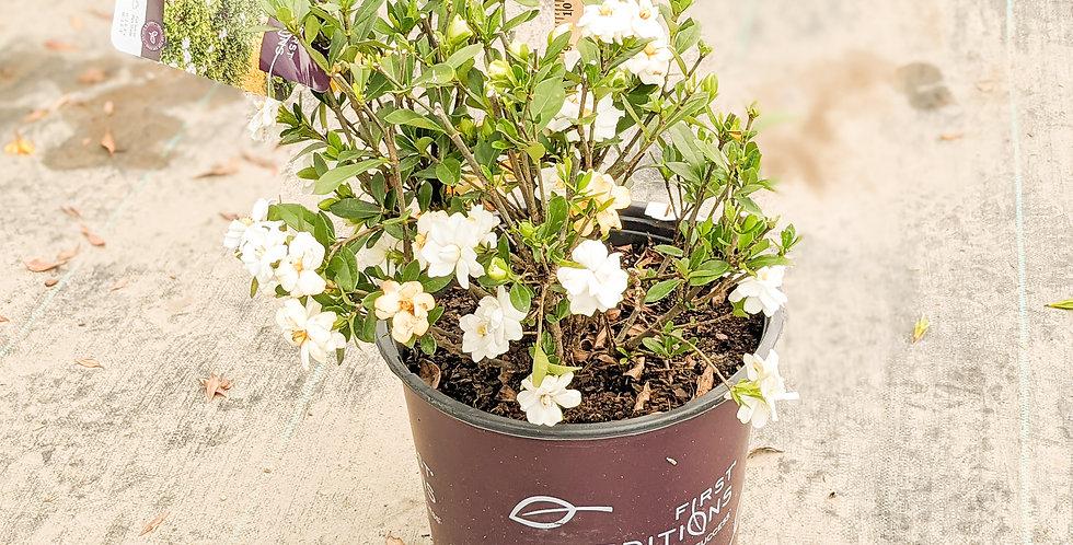 Double Mint Gardenia -GARDENIA JASMINOIDES 'DOUBLE MINT' PP23,507