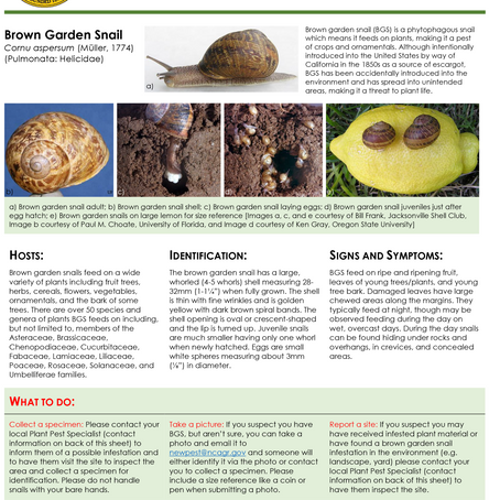 PEST ALERT –Brown Garden Snail