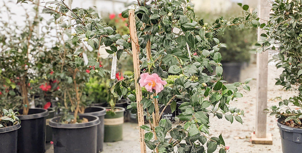 Pink Icicle Camellia •Camellia hybrid 'Pink Icicle'