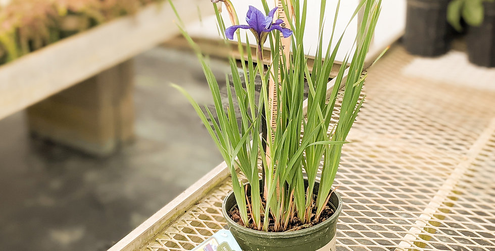 Bennerup Blue Siberian Iris •Iris sibirica 'Bennerup Blue'