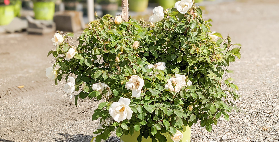 White Knockout Rose •'Radwhite'