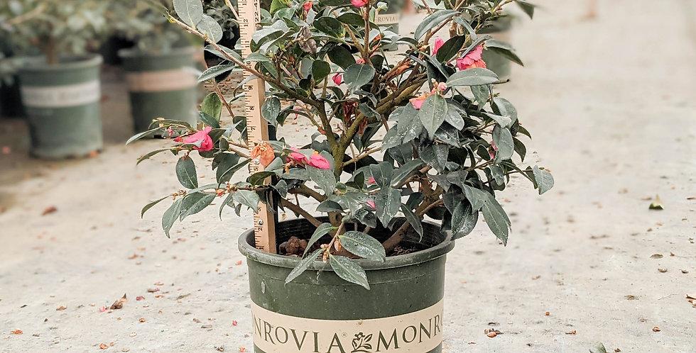 Shishi Gashira Camellia - Camellia sasanqua 'Shishi Gashira'