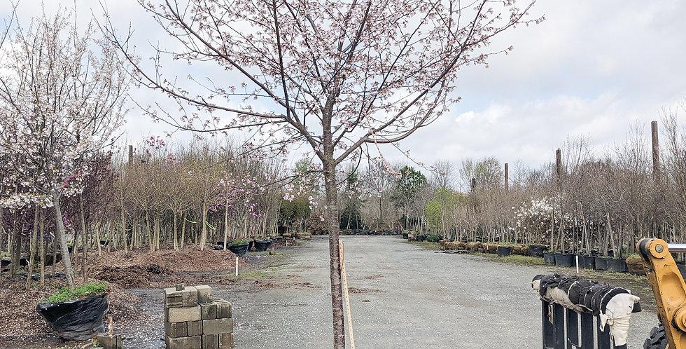 Akebono Cherry •Prunus x yedoensis 'Akebono'