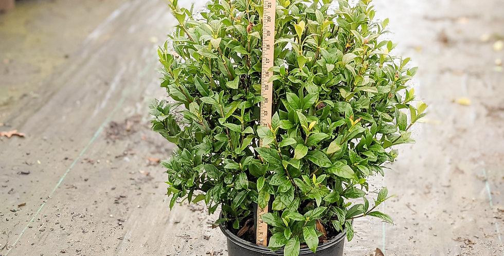 August Beauty Gardenia • Gardenia jasminoides 'August Beauty'