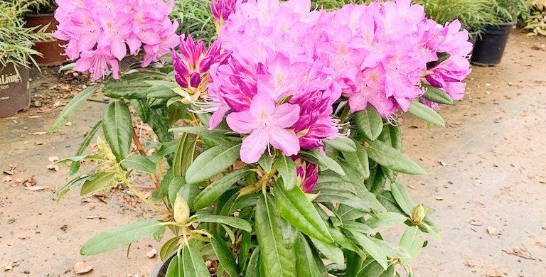 Purpureum Elgans Rhododendron - Rhododendron 'purpureum Elegans'