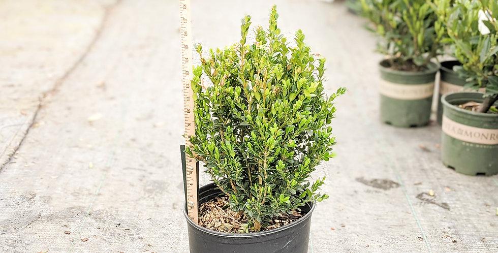 Wintergreen Boxwood • Buxus microphylla var. japonica 'Wintergreen'