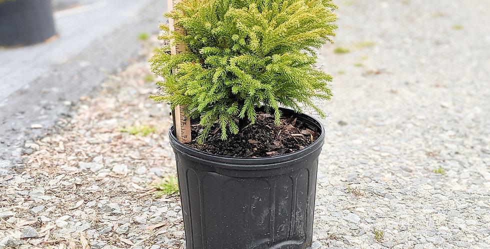 Dwarf Japanese Cedar •Cryptomeria japonica 'Globosa Nana'