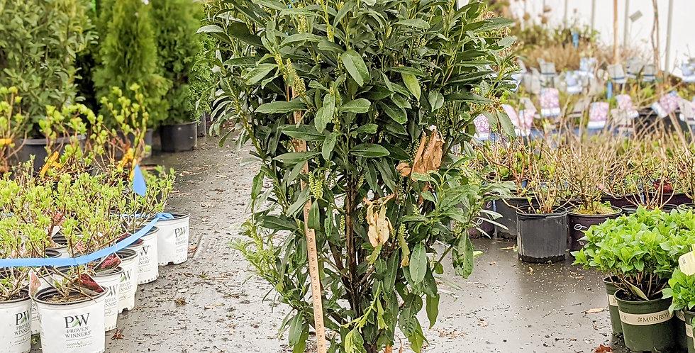 Schipka Cherry Laurel • Prunus lauroceras Schipkaensis