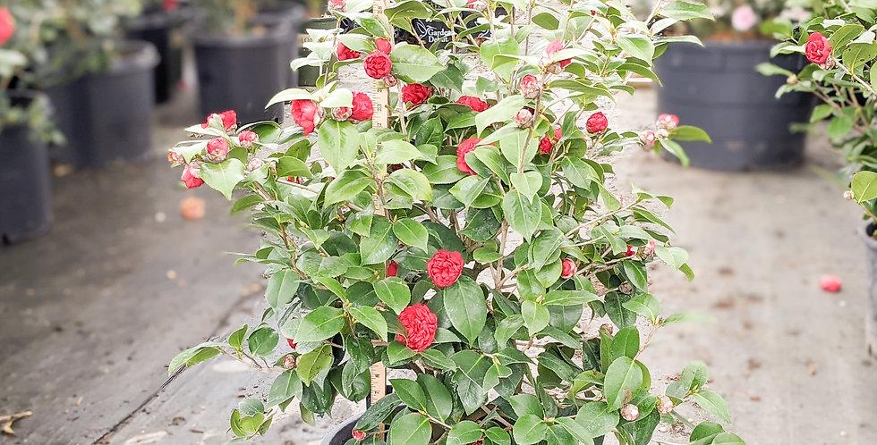 Professor Sargent Camellia • Camellia japonica 'Professor Charles S. Sargent'