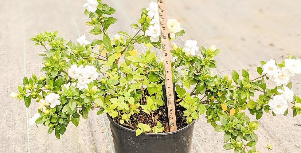 Crown Jewel Gardenia•Gardenia 'Crown Jewel'