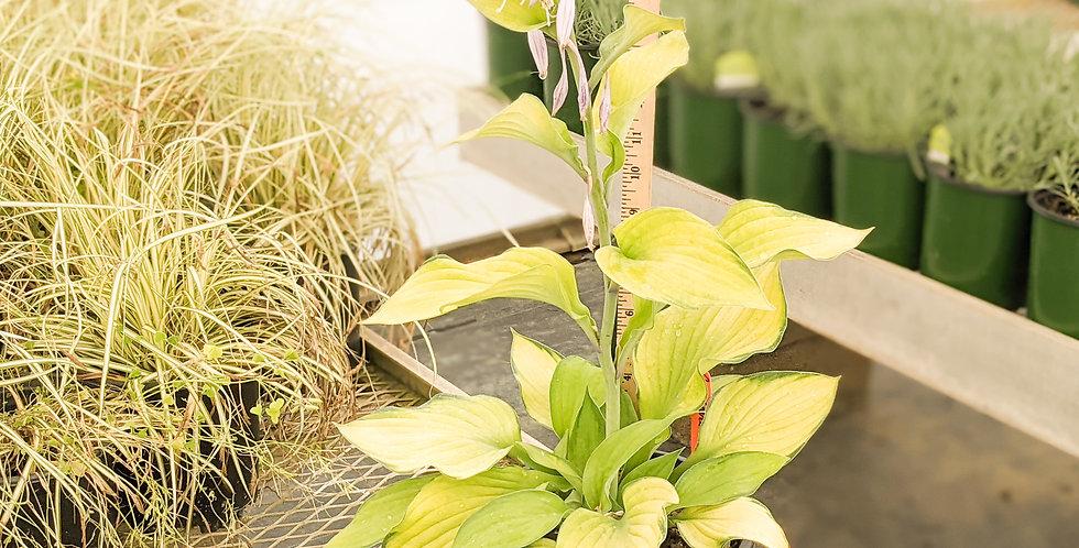 Plantain Lily Gold Standard Hosta •Hosta 'Gold Standard'