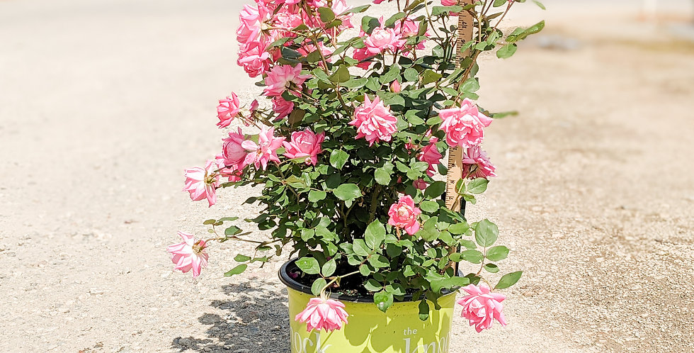 Pink Double Knockout Rose •Radtko