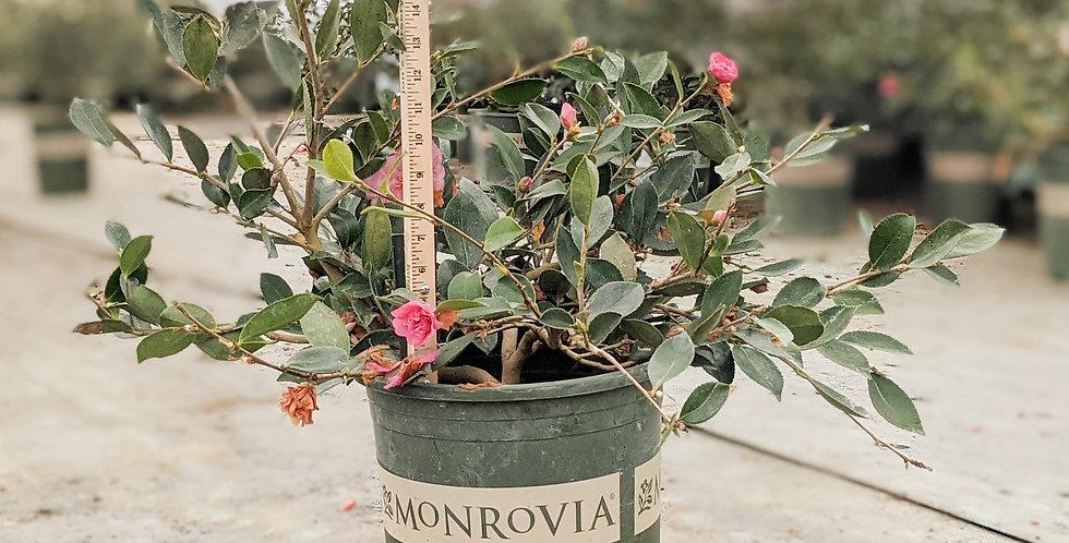 Showa-No-Sakae Camellia • Camellia sasanqua 'Showa-No-Sakae'