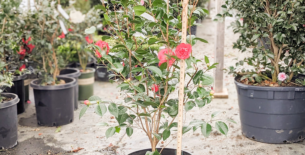 April Tryst Camellia •Camellia japonica 'April Tryst'