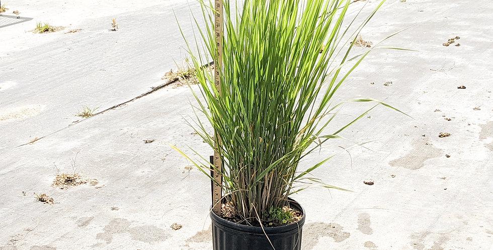 Northwind Switch Grass •Panicum virgatum 'Northwind'