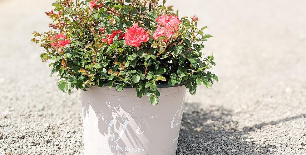 Coral Drift Groundcover Rose •Rosa 'Meigalpio'