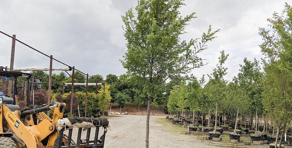 Bosque Elm •Ulmus parvifolia 'UPTMF' Bosque