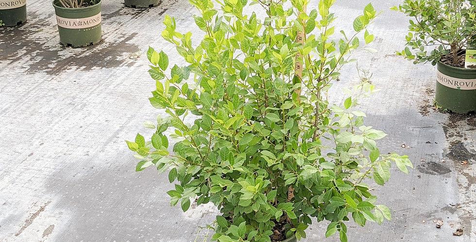 Jim Dandy Winterberry - Ilex verticillata 'Jim Dandy'