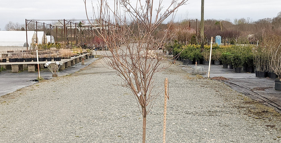 Samaritan Dogwood • Conrnus kousa ssp. 'Samzam'