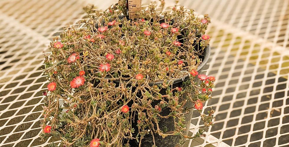 Ice Plant •Delosperma 'Jewel of the Desert Grenade'