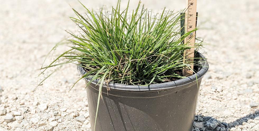 Hameln Fountain Grass -Pennisetum alopecuroides 'Hameln'