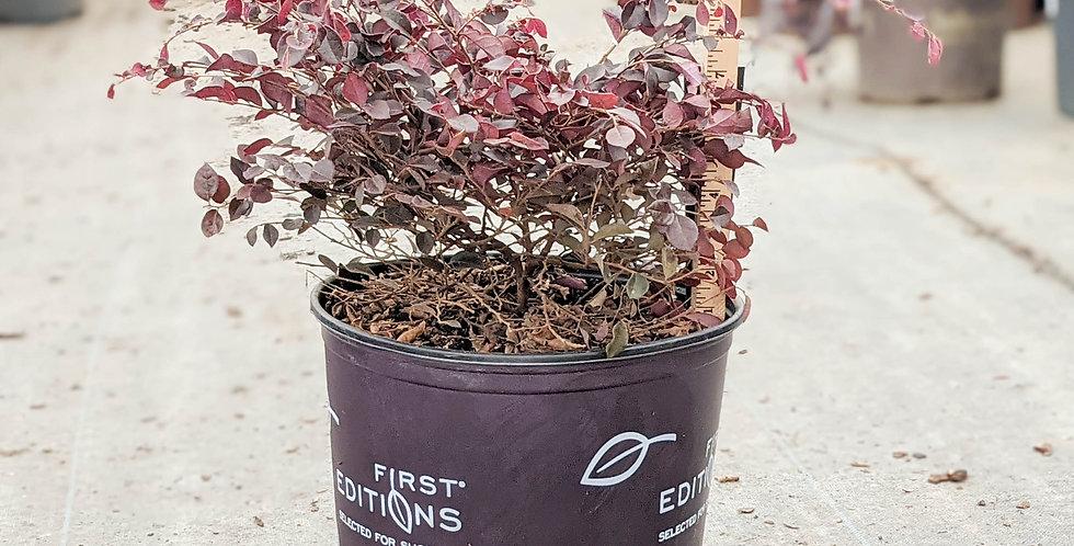 Crimson Fire Loropetalum • Loropetalum chinese var. rubrum 'PIILC-I'