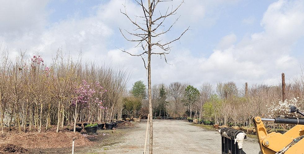 Burr Oak •Quercus macrocarpa