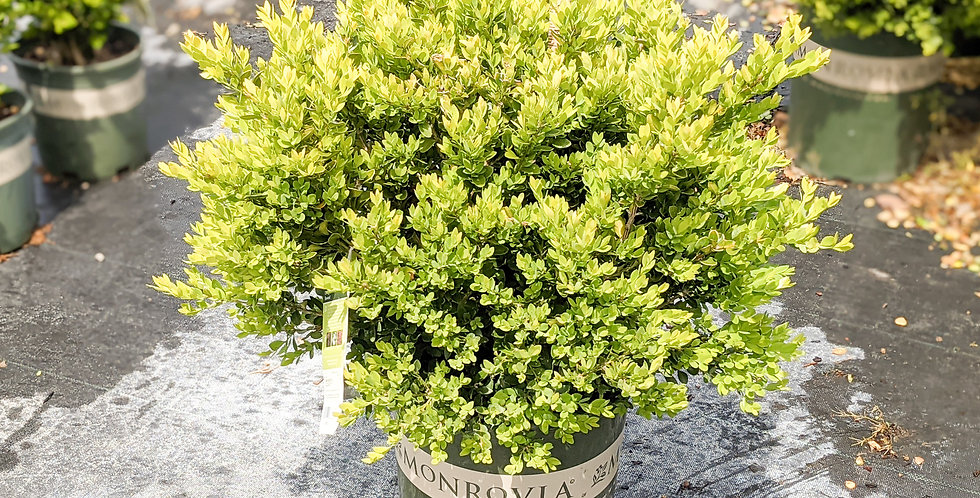 Chicagoland Green Boxwood •Buxus x 'Glencoe'