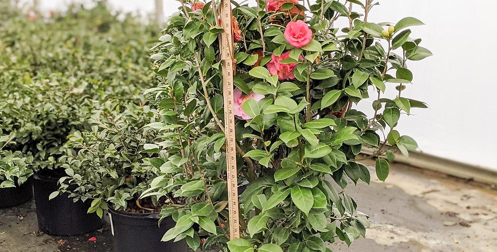 Ack-Scent Camellia •Camellia japonica 'Ack-Scent'