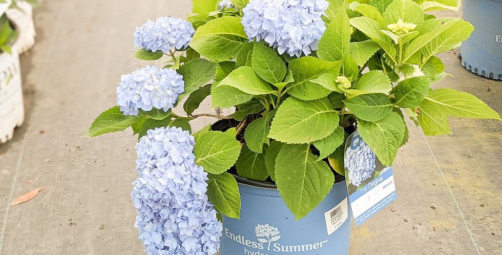 Endless Summer 'The Original' Hydrangea - Hydrangea macrophylla 'Bailmer'
