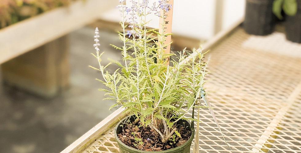 Lacey Blue Russian Sage •Perovskia atriplicifolia 'Lisslitt'